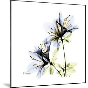 Blue Twin Azalea in Bloom by Albert Koetsier