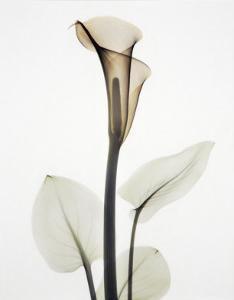 Calla I by Albert Koetsier