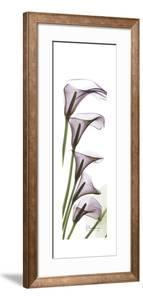 Calla Lilies in Purple by Albert Koetsier