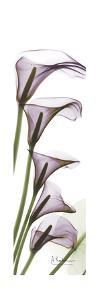 Calla Lilies in Purple by Albert Koetsier