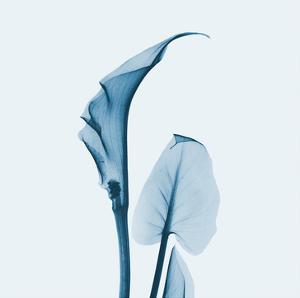 Calla Lilly in Blue by Albert Koetsier