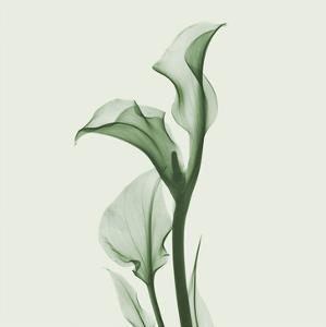 Calla Lilly in Green by Albert Koetsier