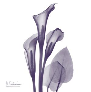 Calla Lilly Purple by Albert Koetsier