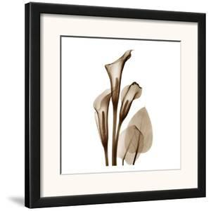 Calla Lilly Sienna by Albert Koetsier