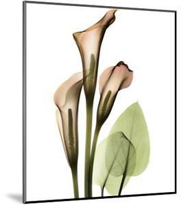 Calla Lilly by Albert Koetsier