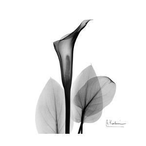 Calla Lily Gray 2 by Albert Koetsier