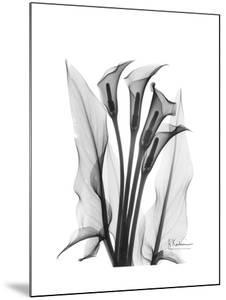 Calla Lily Gray by Albert Koetsier
