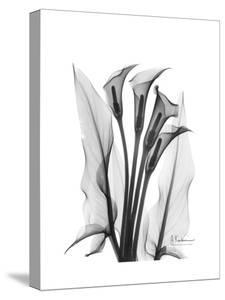 Calla Lily Gray by Albert Koetsier