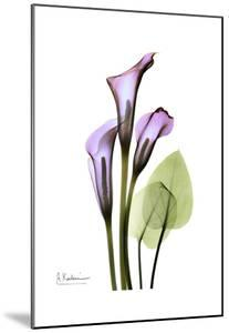 Calla Lily in Full Bloom by Albert Koetsier