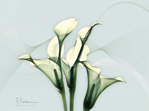 Calla Lily by Albert Koetsier