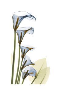 Cascading Calla Lilies by Albert Koetsier
