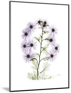 Chrysanthemum Family by Albert Koetsier