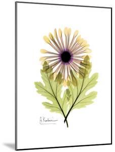 Chrysanthemum Portrait by Albert Koetsier