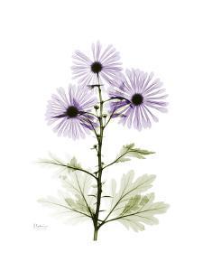 Chrysanthemum Trio by Albert Koetsier