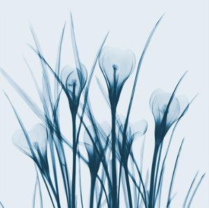 Crocus Blue by Albert Koetsier