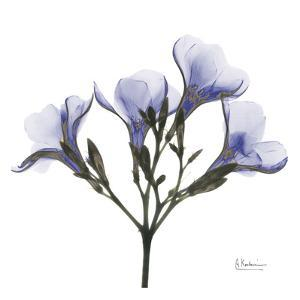 Crocus's in Purple by Albert Koetsier