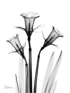 Daffodil in Black and White by Albert Koetsier