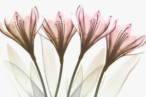 Dazzling Tulips by Albert Koetsier