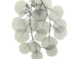 Descending Eucalyptus 4 by Albert Koetsier