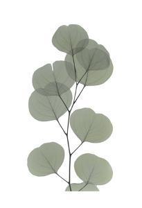 Eucalyptus Dream by Albert Koetsier