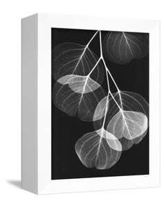 Eucalyptus Xray 2 by Albert Koetsier