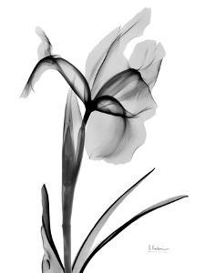 Expressed Iris 2 by Albert Koetsier