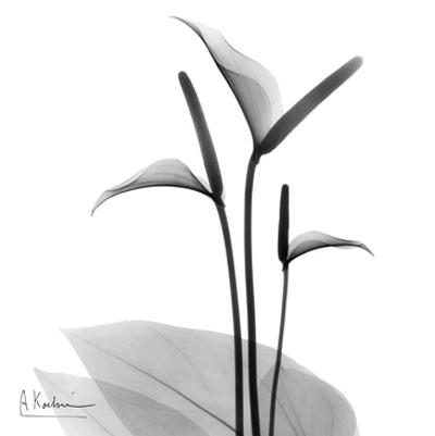 Flamingo Plant Black and White
