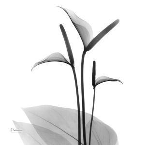 Flamingo Plant Black and White by Albert Koetsier