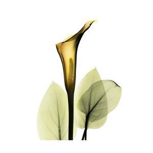 Golden Calla Lily 1 by Albert Koetsier