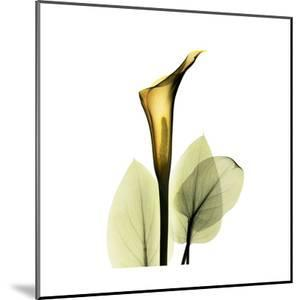 Golden Calla Lily 1 by Albert Koetsier