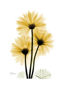 Golden Gerbera by Albert Koetsier