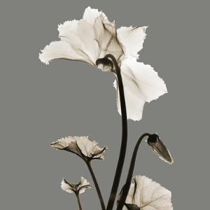 Gray Luster Cyclamen by Albert Koetsier