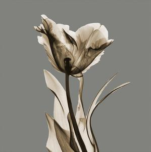 Gray Luster Tulip by Albert Koetsier