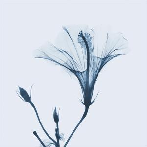 Hibiscus in Blue by Albert Koetsier