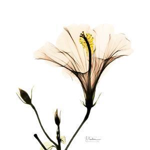 Hibiscus by Albert Koetsier