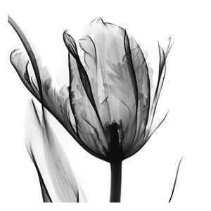 High Contrast Tulip by Albert Koetsier