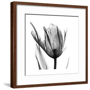 High Contrast Tulip by Albert Koetsier