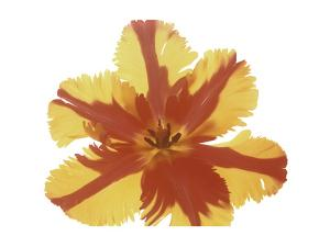 Hot Tulip Blossom by Albert Koetsier
