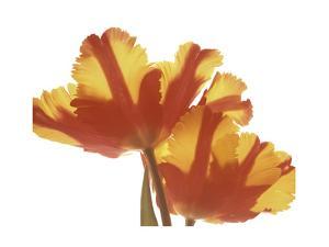 Hot Tulip by Albert Koetsier