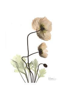 Iceland Poppy in Color by Albert Koetsier