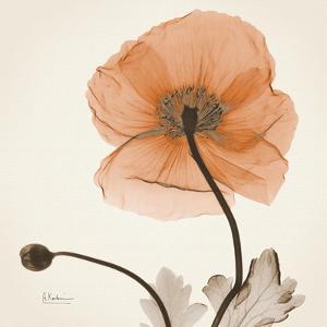 Iceland Poppy Orange by Albert Koetsier