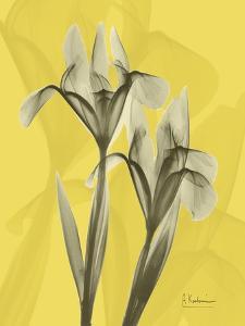 Iris on Canary by Albert Koetsier