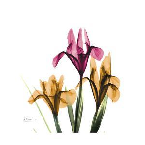 Iris Portrait by Albert Koetsier
