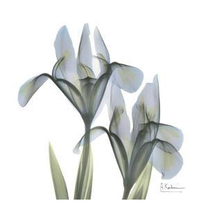 Japanese Iris II by Albert Koetsier
