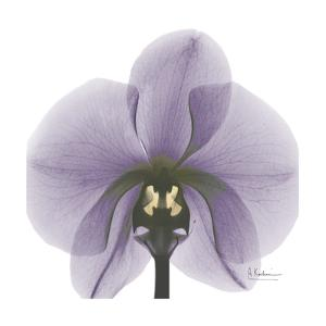 Lilac Orchid by Albert Koetsier