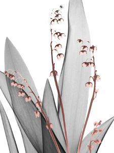 Lily of the Blush 1 by Albert Koetsier