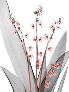 Lily of the Blush 2 by Albert Koetsier