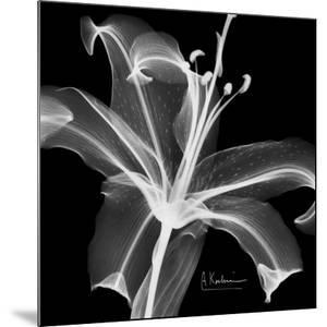 Lily White on Black by Albert Koetsier