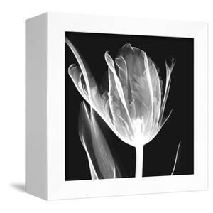 Lusty Tulip 2 by Albert Koetsier