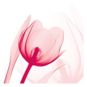 Magenta Tulip C68 by Albert Koetsier